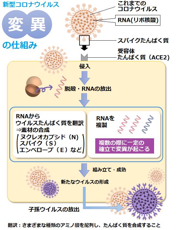 株 イギリス 変異 新型コロナウイルス変異株の危険性…感染力を増したN501Yが拡大 [感染症]
